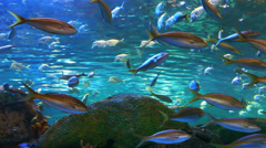 A view of school of Yellow-tailed Snapper Stock Footage