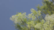 Stock Video Footage of springtime fringe tree bloom