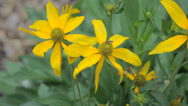 Stock Video Footage of yellow coneflower