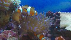 Clown-fish in marine aquarium. Stock Footage