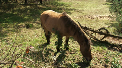 Icelandic horses graze in Veluwe area, The Netherlands Stock Footage