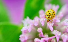 yellow ladybug on violet flowers - stock photo