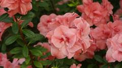 Simsi rhododendron.  Blooming (Azalea) Stock Footage