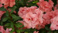 Stock Video Footage of Simsi rhododendron.  Blooming (Azalea)