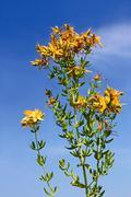 flowering hypericum plant - stock photo