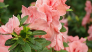 Stock Video Footage of Blooming Pink Rhododendron (Azalea)
