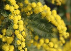 Mimosa with yellow flowers round for the international women's day on 8 march Stock Photos