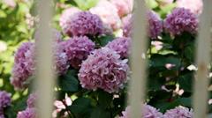 Pink hydrangea Stock Footage