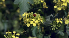 Brown Mustard with Lady Bug - stock footage
