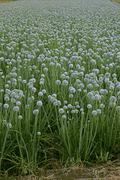 Flowers of onion, allium cepa, india Stock Photos