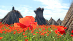 Poppy flower, landscape Stock Footage