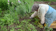 Elderly woman weeding grass sprouted from the lettuce beds Stock Footage