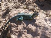 Stock Photo of Collared lizard