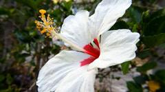 White hibiscus flower blooms in garden Stock Footage