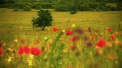 Beautiful Poppy Field Stock Footage