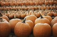 Stock Photo of pumpkins arranged in rows to be hardened off and dried. organic farm.