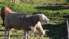 Sheep grazing on meadow, closeup Stock Footage