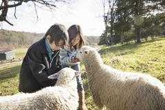 Two children at an animal sanctuary, in a paddock feeding two sheep. Stock Photos