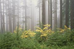 Hemlock and vine maple trees in the umpqua national forest. green and yellow Stock Photos