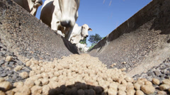Farm Nelore Cattle Stock Footage