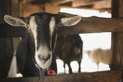 A farm animal on an organic farm. a goat in a pen. Stock Photos