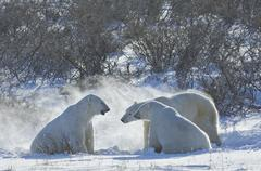 polar bears in the wild. a powerful predator and a vulnerable  or potentially - stock photo