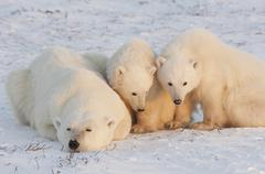 Polar bears in the wild. a powerful predator and a vulnerable  or potentially Stock Photos