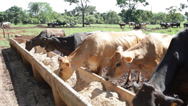 Stock Video Footage of Farm Cattle