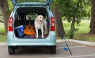 Stock Photo of Domestic dog in car trunk
