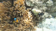 Stock Video Footage of snorkeling with clownfish