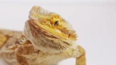 Bearded dragon (agama lizard) close-up portrait Stock Footage