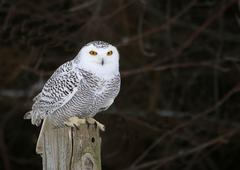 Stock Photo of Stationary Snowy Owl