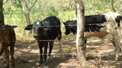 Holstein Calves Stock Footage