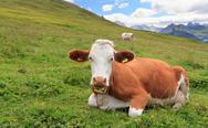 Stock Photo of alpine pasture with cow
