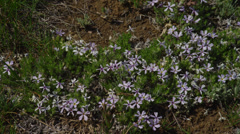 Tiny Purple Wildflowers Stock Footage