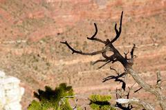 juniper snag, looking north over the grand canyon - stock photo