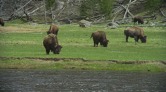 Bison Grazing in Yellowstone Stock Footage