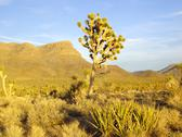 Stock Photo of last rays of warm sun on joshua trees