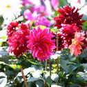 Stock Photo of dahlia flower blossom in garden