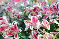 Stock Photo of lily flower blossom in garden