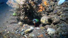 Smashing mantis shrimp cleaning itself under a piece of coral on the ocean floor Stock Footage