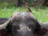 Stock Photo of Red-billed oxpecker on African Buffalo