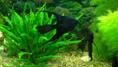 Black angelfish in an aquarium with green plants Stock Footage