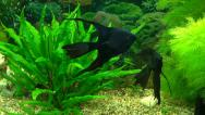 Stock Video Footage of Black angelfish in an aquarium with green plants