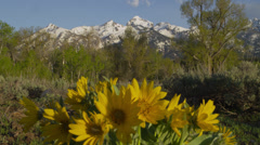 Yellow Daisies in Grand Tetons - stock footage