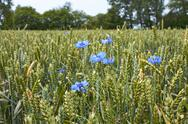 Stock Photo of cornflowers on the wheat field