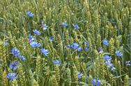 Stock Photo of cornflowers among ripening wheat ears close-up