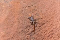 Agama in Namib Stock Photos