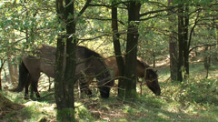 Icelandic horses graze in forested area, nature management. - stock footage