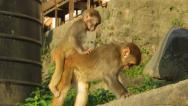 Stock Video Footage of Macaque monkeys playing in the Unesco heritage site of Swayambhunath